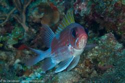 BD-101207-Playa-del-Carmen-2766-Holocentrus-adscensionis-(Osbeck.-1765)-[Squirrelfish].jpg